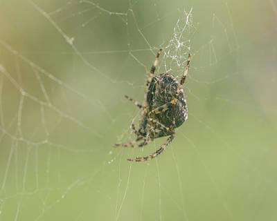 Photograph - European Garden Spider E by Jacek Wojnarowski