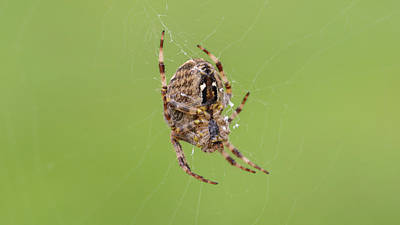 Photograph - European Garden Spider H by Jacek Wojnarowski