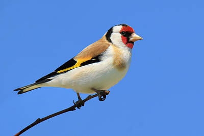 European Gold Finch Original