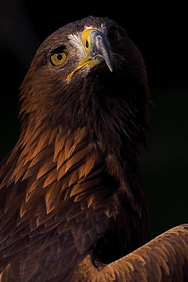European Golden Eagle Art Print