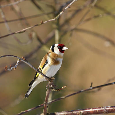 Jouko Lehto Royalty-Free and Rights-Managed Images - European goldfinch 2 by Jouko Lehto