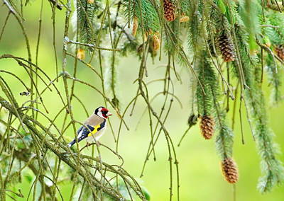 Photograph - European Goldfinch, Carduelis Carduelis by Elenarts - Elena Duvernay photo