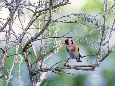 Photograph - European Goldfinch, Carduelis Carduelis by Elenarts - Elena Duvernay photo