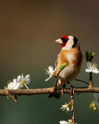 Photograph - European Goldfinch On Flowering Blackthorn. by Paul Scoullar
