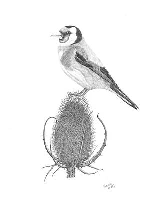 Goldfinch Drawing - European Goldfinch by Patricia Hiltz
