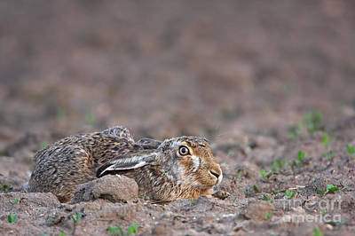 European Hare Art Print by Mathias Sch�f