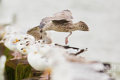Photograph - European Herring Gulls In A Row, A Landing Bird Above Them by Nick Biemans