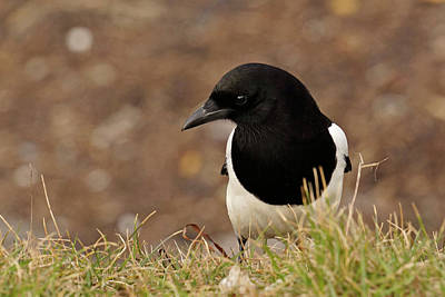 Photograph - European Magpie by Inge Riis McDonald
