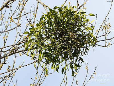 Photograph - European Mistletoe On Willow by Phil Banks