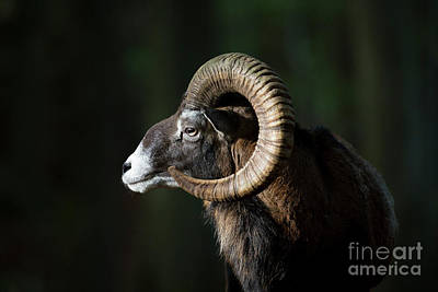 Photograph - European Mouflon by Arterra Picture Library