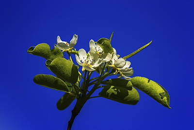 Photograph - European Or Common Pear, Pyrus Communis, Flowers by Elenarts - Elena Duvernay photo