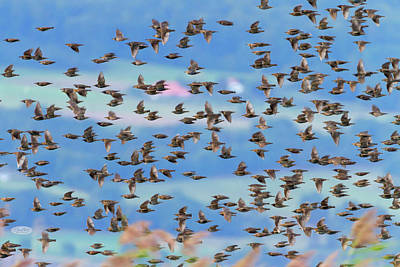 Photograph - European Or Common Starling, Sturnus Vulgaris, Bird Flock Flying by Elenarts - Elena Duvernay photo