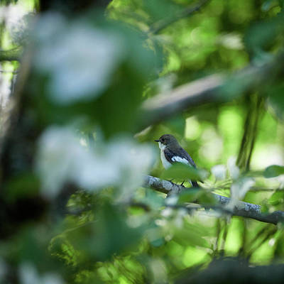 Photograph - European Pied Flycatcher In An Apple Tree by Jouko Lehto