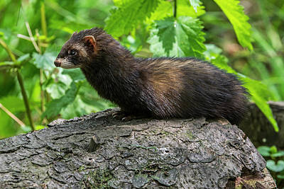 Photograph - European Polecat by Arterra Picture Library