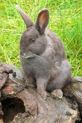 Photograph - European Rabbit by Frank Townsley