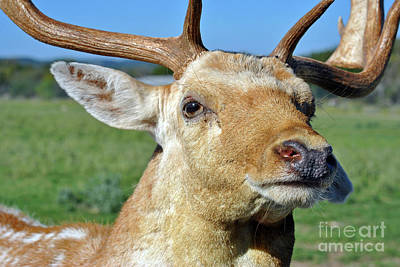 Photograph - Fallow Deer by Inspirational Photo Creations Audrey Woods