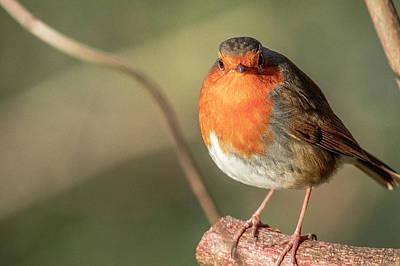 Photograph - European Robin by Darren Wilkes