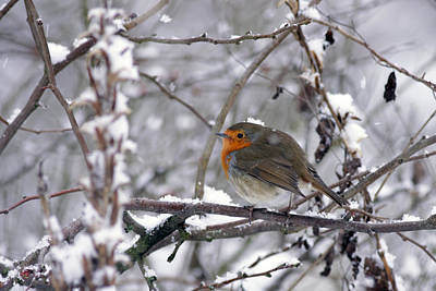 Photograph - European Robin In The Snow At Christmas by Tony Mills