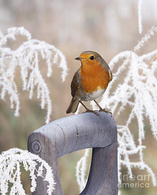 Photograph - European Robin On A Frosty Spade Handle by Warren Photographic