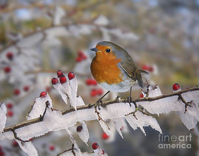 Photograph - European Robin On Rime-covered Hawthorn by Warren Photographic