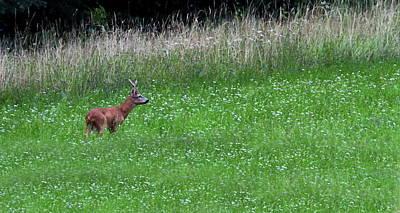 Photograph - European Roe Deer, Capreolus Capreolus, Switzerland by Elenarts - Elena Duvernay photo