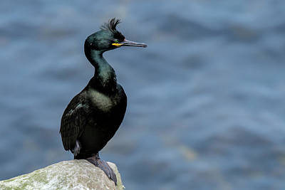 Photograph - European Shag by Arterra Picture Library