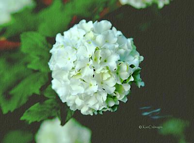 Photograph - European Snowball/single Bloom by Kae Cheatham