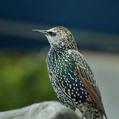 Photograph - European Starling 2 by Fraida Gutovich