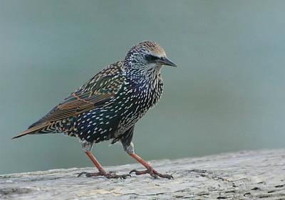 Photograph - European Starling 3 by Fraida Gutovich