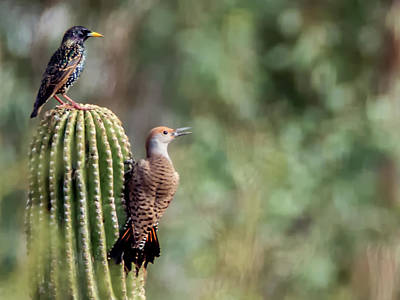 Photograph - European Starling And Red-shafted Northern Flicker by Tam Ryan