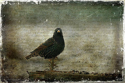 Starlings Wall Art - Photograph - European Starling by Cindi Ressler
