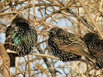 Photograph - European Starlings by Vijay Sharon Govender