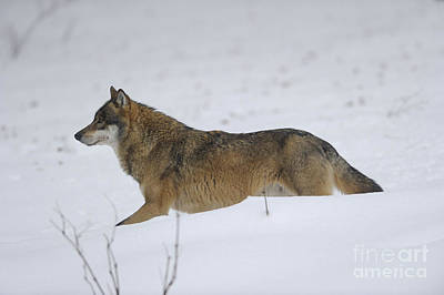 European Wolf Photograph - European Wolf, Germany by David & Micha Sheldon