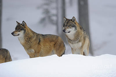 European Wolf Photograph - European Wolves, Germany by David & Micha Sheldon