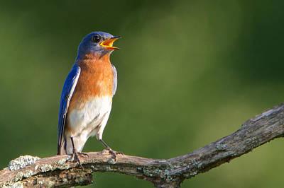 Photograph - Evening Bluebird by Linda Shannon Morgan