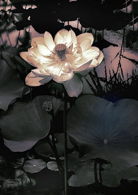 Lotus Flower Photograph - Evening Blush by Jessica Jenney