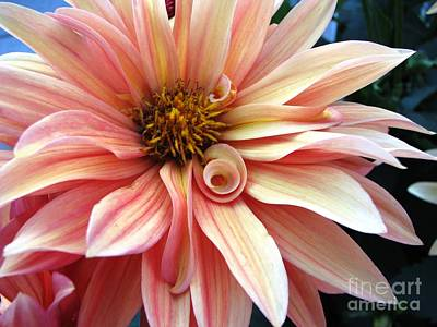 Photograph - Evening Dahlia by Judyann Matthews