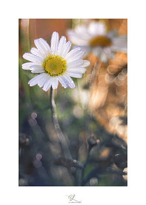 Photograph - Evening Daisy by Adel Ferrito