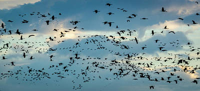 Photograph - Evening Flight At Bosque Del Apache by Joe Doherty