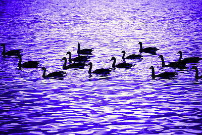 Photograph - Evening Geese by Marilyn Hunt