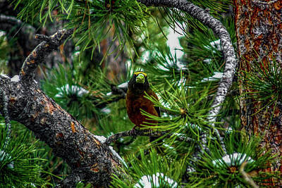 Photograph - Evening Grosbeak Among Pine Branches by Marilyn Burton