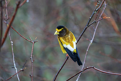 Photograph - Evening Grosbeak by Gary Hall