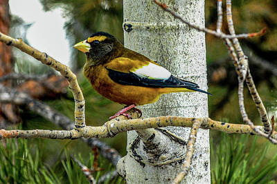 Photograph - Evening Grosbeak - Male On Aspen by Marilyn Burton