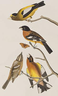 Group Of Birds Painting - Evening Grosbeak Or Spotted Grosbeak by John James Audubon