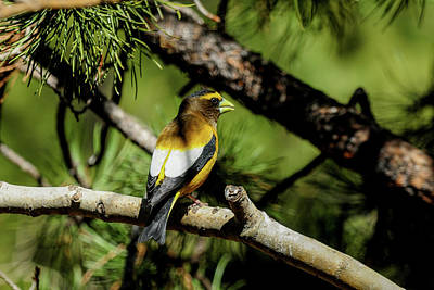 Photograph - Evening Grosbeak - Shaded by Marilyn Burton