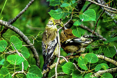 Photograph - Evening Grosbeaks - Mother Feeding Baby by Marilyn Burton