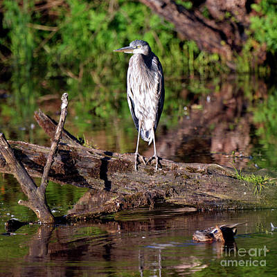 Photograph - Evening Heron by Denise Bruchman