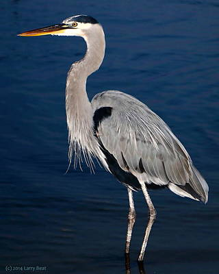 Photograph - Evening Heron by Larry Beat
