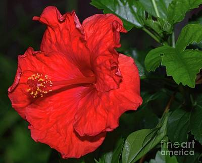 Photograph - Evening Hibiscus by Diana Mary Sharpton