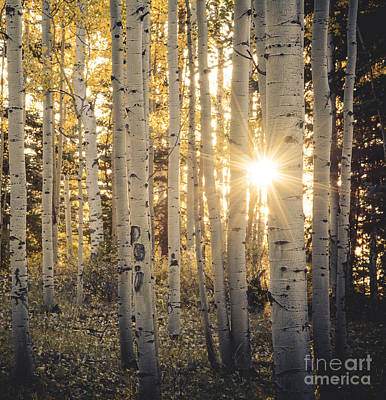 Evening In An Aspen Woods Art Print